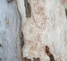 Bark Of A Eucalyptus Tree Sticker