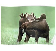 Moose with Velvet Antlers at Yellowstone NP Poster