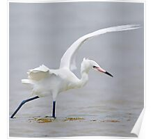 Reddish Egret Hunting in the Gulf of Mexico Poster