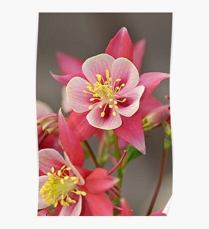 Pink columbine flowers Poster