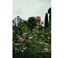 Pink Roses Growing Photographic Print