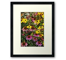 Colorful echinacea flowers Framed Print