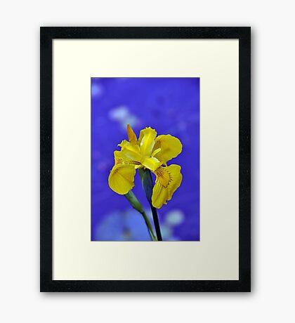 Yellow iris flower Framed Print