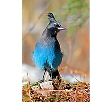 Rocky Mountain Steller's Jay Photographic Print