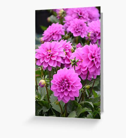 Purple dahlia flowers Greeting Card