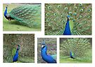 Peacock Pleasure by Leanne Allen
