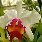 Orchid 8  by Joy Fitzhorn