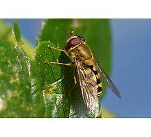 Hover Fly - Syrphidae family Photographic Print