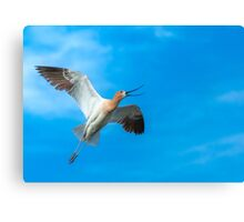 American Avocet Skyward Canvas Print