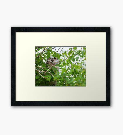 Great Horned (Baby) Owl Framed Print