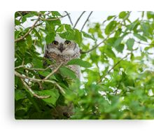 Great Horned (Baby) Owl Canvas Print