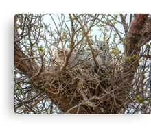 Nest of Great Horned Owls Canvas Print