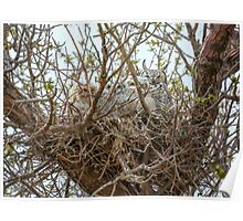 Nest of Great Horned Owls Poster