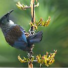 Tui........a favourite treat at this time of year.......! by Roy  Massicks