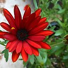 Scarlet Daisy and Buds by kathrynsgallery