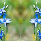 Australian sun orchids (Thelymitra) by Kell Jeater
