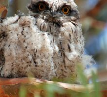 Tawny Frogmouth with fledgling  Sticker