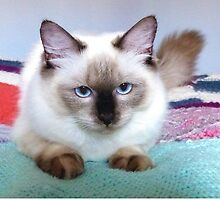 Molly; Ragdoll kitten, 7 months old. by ronsphotos
