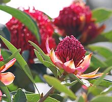 The little red Waratah by Lozzar Flowers & Art