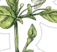 Chilly plant- flowers Sticker