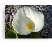 Overhead View of A White Calla Lily Against Pebbles Canvas Print