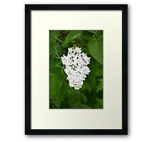White lilac flowers Framed Print
