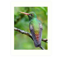 Rufous-tailed hummingbird Art Print