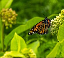 Beautiful Bright Monarch Butterfly Flower by Tanya Legere