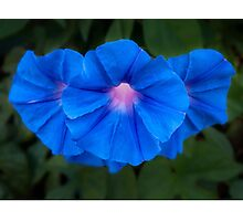 Three morning glories Photographic Print