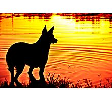 Silhouette of a Blue Heeler Photographic Print