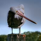 Bashful Pelican by Michael Matthews