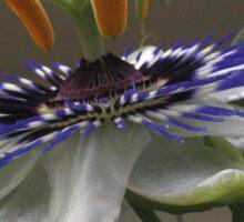 Close Up of Beautiful Passiflora Flower Sticker