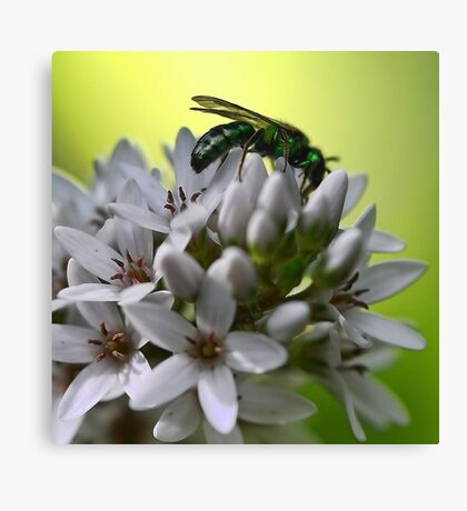 Gooseneck Loostrife and Metallic Green Bee Canvas Print