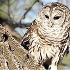 Barred Owl by Linda Sparks