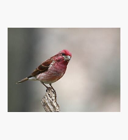 Purple Finch Photographic Print