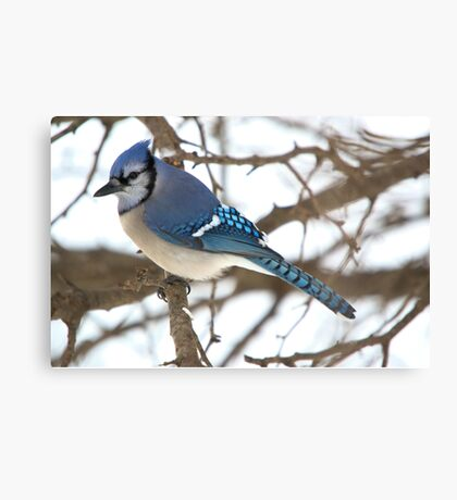 Winter Jay 2 Canvas Print