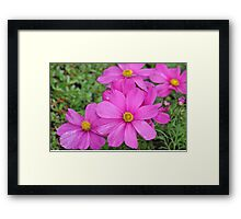 Pink cosmos flowers Framed Print