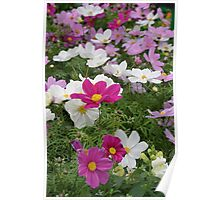 Colorful cosmos flowers Poster