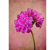 Geranium portrait Photographic Print