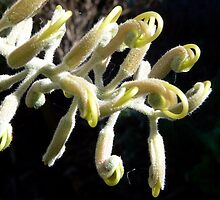 Grevillea Ivory Whip emerging by Graeme  Hyde