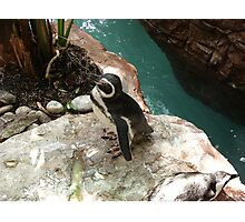 """""""Back-footed Penguin"""" by Carter L. Shepard""""  Photographic Print"""