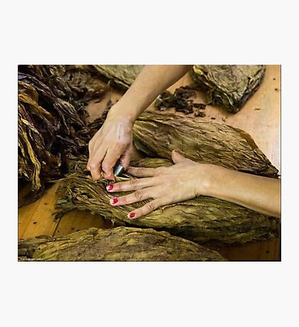 Tobacco Worker's Hands Photographic Print