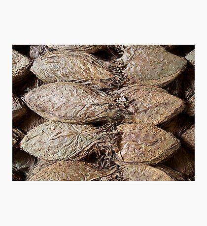 Tobacco Leaves Photographic Print