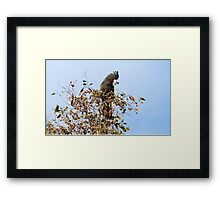 Red-Tailed Black Cockatoo, Edenhope, Victoria Framed Print