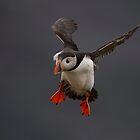 Atlantic Puffin by wildlifephoto