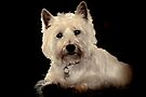 Archie, West Highland Terrier by lynn carter