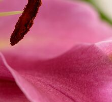 Macro Stamen and Petal by Robyn Williams