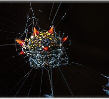 Spiny Orb Weaver - Gasteracantha Cancriformis by Edvin  Milkunic