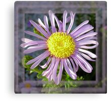 Close Up Lilac Aster With Bright Yellow Centre Canvas Print
