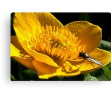 All in Yellow : Water Celendine Canvas Print